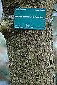 Corylus colurna-DSC 7314.jpg