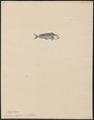 Coryphaena pelagica - 1700-1880 - Print - Iconographia Zoologica - Special Collections University of Amsterdam - UBA01 IZ13500314.tif