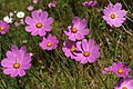 Cosmos bipinnatus 20D 8518.jpg