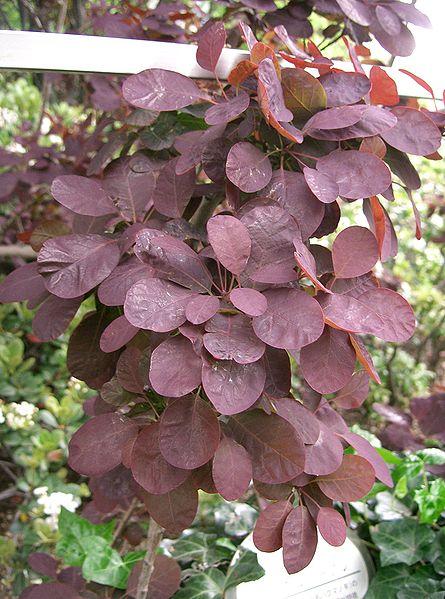 File:Cotinus coggygria Royal Purple2.jpg