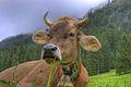 Cow (2850298645).jpg