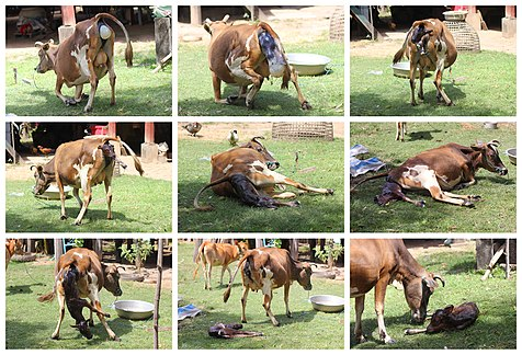 Cow giving birth, in Laos (step by step).jpg