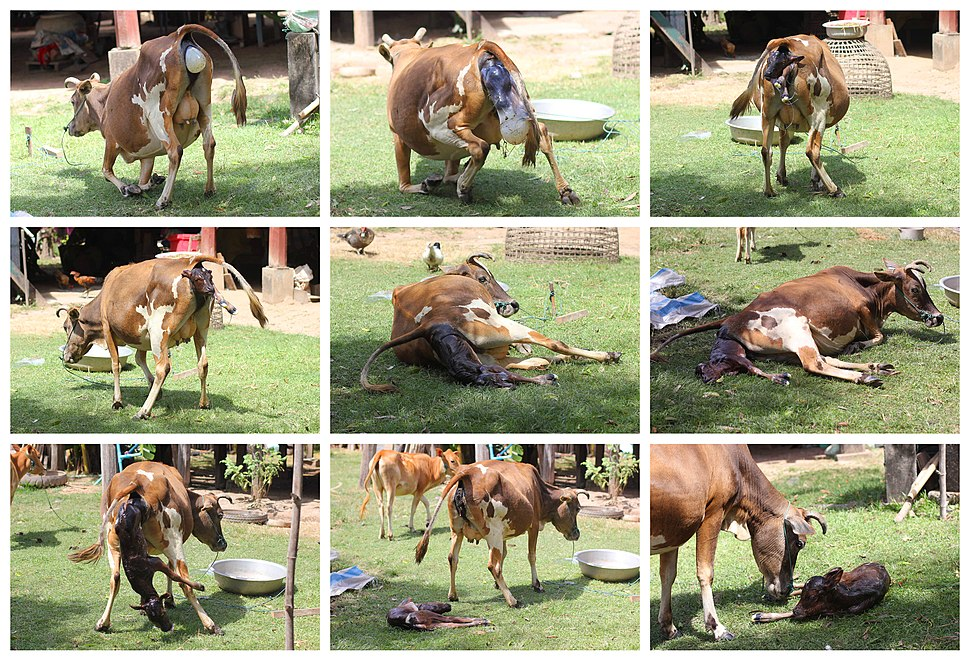 Cow giving birth, in Laos (step by step)