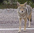 Coyote arizona.jpg