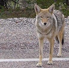 Fauna Of California Wikipedia