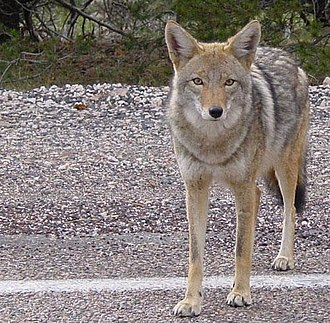 Fauna of California - Coyotes live in every habitat in California, from the arid deserts in the south to foggy coastal regions in the north.
