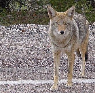 Fauna of California - Image: Coyote arizona