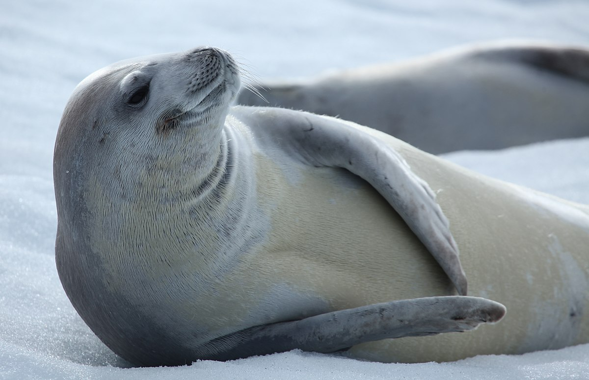 Crabeater Seal  Wikipedia. White Interior Barn Doors. Car Door Ding Repair. Bedroom Closet Doors. 15 X 20 Garage. Dutch Door Bolt. Frosted Glass For Kitchen Cabinet Doors. Refrigerator Door Gasket Home Depot. Door Fixer