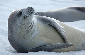 Crabeater seal - Image: Crabeater Seal in Pléneau Bay, Antarctica