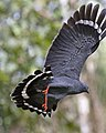 Crane Hawk (Geranospiza caerulescens) (41979516494).jpg