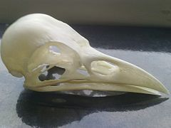 Cranium Corvus corone corone.jpg