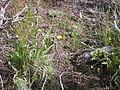 Crepis acuminata (4424019729).jpg