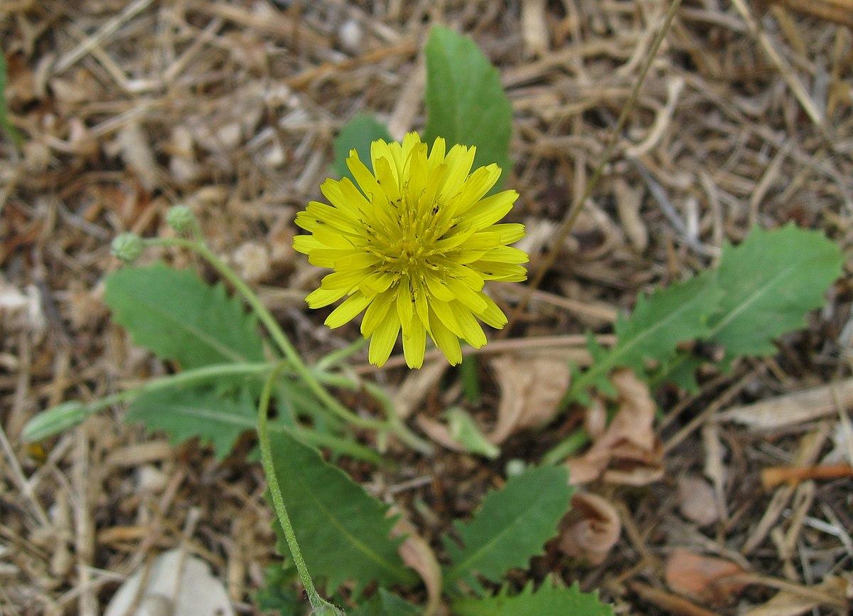 Crepis bursifolia - Wikipedia - Crepis