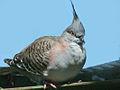 Crested Pigeon SMTC.jpg