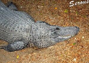 http://upload.wikimedia.org/wikipedia/commons/thumb/9/98/Crocodile_Hamat_Gader.jpg/300px-Crocodile_Hamat_Gader.jpg