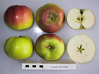 Cross section of Broad-Eyed Pippin (of Bultitude), National Fruit Collection (acc. 1929-029).jpg