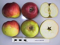 Cross section of Neild's Drooper (MM106), National Fruit Collection (acc. 1957-241).jpg