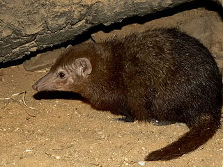 Common kusimanse species of mammal