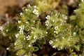 Cryptantha crassisepala - Flickr - aspidoscelis (6).jpg