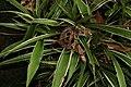 Cryptanthus fosterianus 0zz.jpg