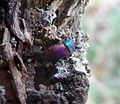 Cuckoo Wasp Abdomen - Flickr - gailhampshire.jpg