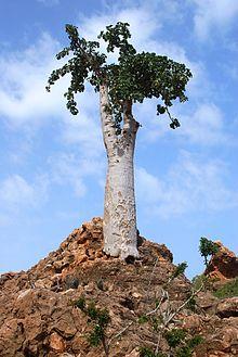 Dendrosicyos Dendrosicyos Wikipedia