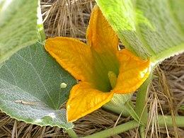Cucurbita foetidissima staminate flower 2003-05-19