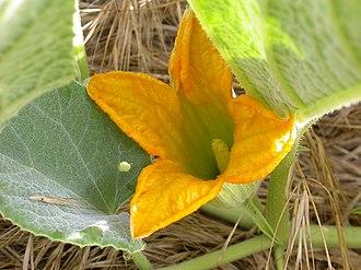 Cucurbita foetidissima - Image: Cucurbita foetidissima staminate flower 2003 05 19