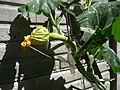 Cucurbita moschata (zapallo espontáneo) flor F01 dia00 por la tarde pétalos cerrados.JPG