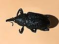 Curculionidae - Alcides porosus-1.JPG