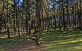 Curonian Spit NP 05-2017 img10 Dancing Forest.jpg