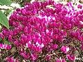 Cyclamen hederifolium dark pink - Flickr - peganum (1).jpg