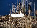 Cygnus buccinator -Toronto Zoo, Ontario, Canada -nest-8.jpg