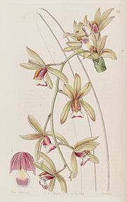 Cymbidium aloifolium (as Cymbidium pendulum var. brevilabre) - Edwards vol 30 (NS 7) pl 24 (1844)