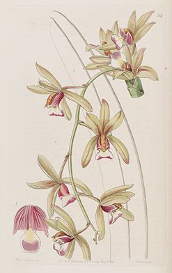 Cymbidium aloifolium (as Cymbidium pendulum var. brevilabre) - Edwards vol 30 (NS 7) pl 24 (1844).jpg