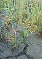 Cyperus squarrosus kz01.jpg