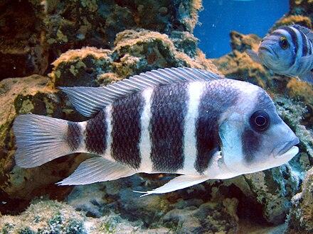 cyphotilapia frontosa liste de poissons d aquarium d eau douce