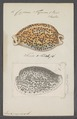 Cypraea tigrina - - Print - Iconographia Zoologica - Special Collections University of Amsterdam - UBAINV0274 088 02 0038.tif