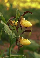 cypripedium calceolus wikipedia. Black Bedroom Furniture Sets. Home Design Ideas