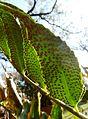 Cyrtomium falcatum, spoorhopies, Waterberg.jpg