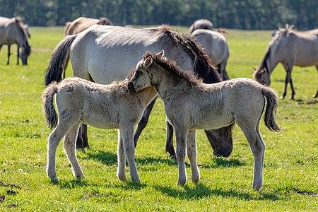 Dülmen pony in the Merfeld Bruch, Merfeld, Dülmen, North Rhine-Westphalia, Germany