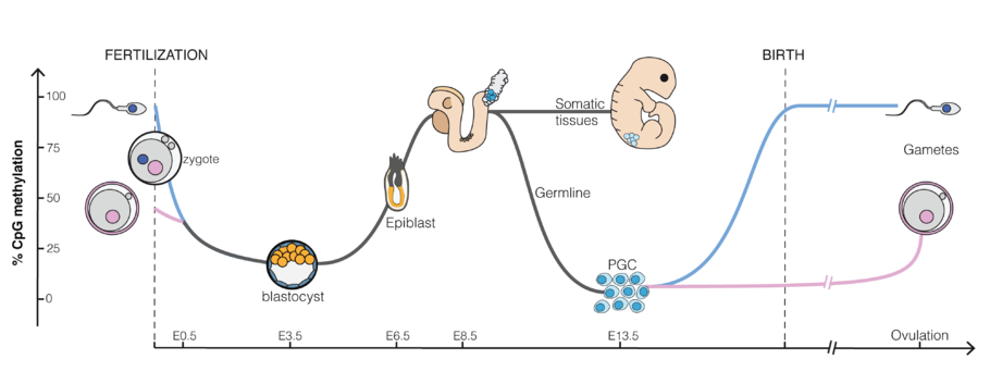 Dynamic of DNA methylation during mouse embryonic development. E3.5-E6, etc., refer to days after fertilization. PGC: primordial germ cells DNA methylation reprogramming.png