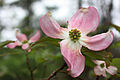 DO Dogwood Flower (5220382375).jpg