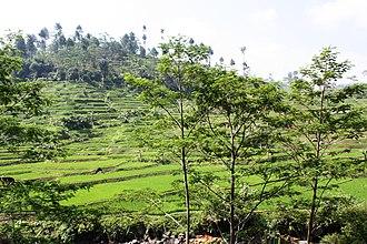 Tasikmalaya Regency - Rice field in Tasikmalaya, West Java