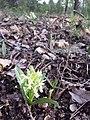 Dactylorhiza sambucina sl24.jpg