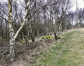 Werneth Low - Image: Daffodils at Hanging Bank geograph.org.uk 1213985