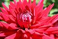 Dahlia close-up (4264951334).jpg