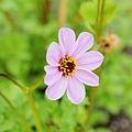 Dahlia merckii-IMG 4646.jpg