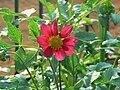 Dahlia single flower (372209037).jpg