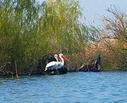 Dalmatian Pelicans in the Danube delta.jpg